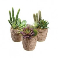 Exotic Succulents Trio